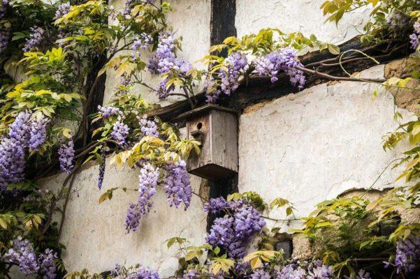 Blauregen an einer Hausfassade